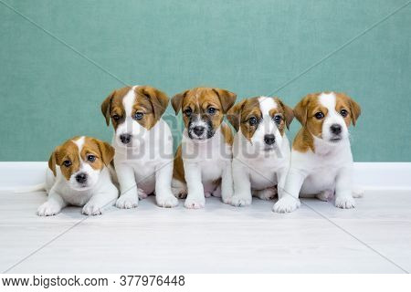Five Jack Russell Terrier Puppies Sit On A Light Floor Against A Green Wall And Look Into The Camera