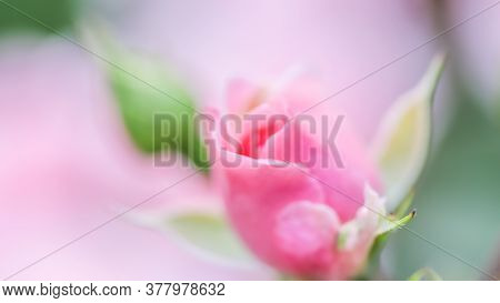 Botanical Concept, Invitation Card - Soft Focus, Abstract Floral Background, Bud Of Pink Rose Flower