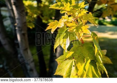 Close-up View Of Japanese Yellow Maple Leaves In Koko-en Garden In Himeji, Japan With Tree Branch In