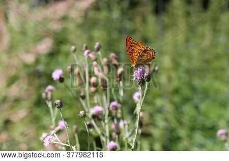 Beautiful Butterflies Sit On Flowers And Drink Nectar