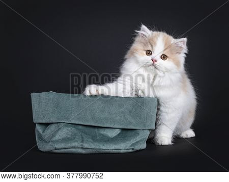 Fluffy White With Creme British Longhair Kitten, Sitting Behind Green Velvet Bag. Looking Towards Ca