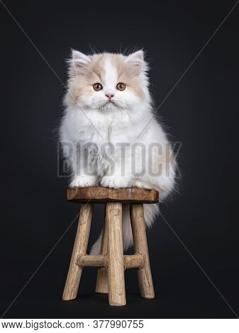 Fluffy White With Creme British Longhair Kitten, Sitting On Little Wooden Stool. Looking Towards Cam