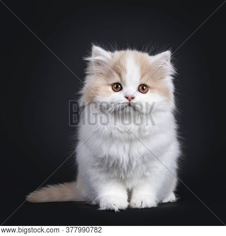 Fluffy White With Creme British Longhair Kitten, Sitting Facing Front. Looking Towards Camera With O