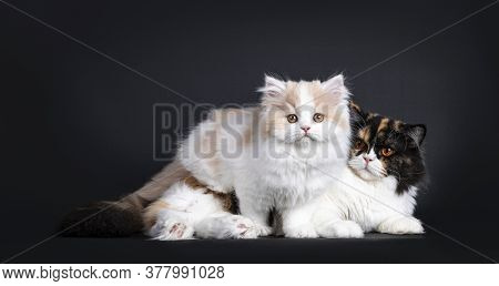 Fluffy White With Creme British Longhair Kitten, Standing Over Laying Down Tortie Mother. Looking To