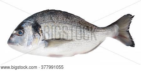 Fish Dorado Isolated On White Background With Clipping Path And Full Depth Of Field. Top View. Flat