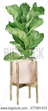 Watercolor Illustration Of Fiddle Leaf Fig Tree In The Planter Isolated On The White Background. Hom