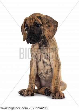 Cute Light Brindle Great Dane Pup, Sitting Slightly Side Ways. Looking Down And Beside Camera With D