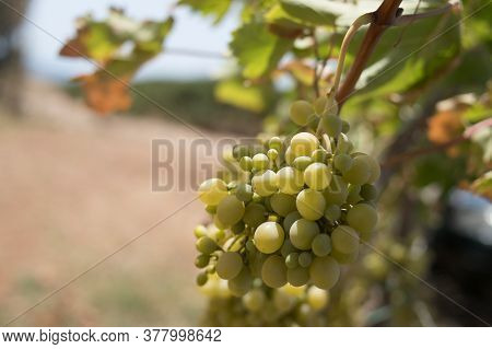 Grapes With Green Leaves On The Vine. Fresh Fruits.ripe Grapes Hung On Vineyards Of Grape Trees. In