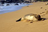 female monk seal, an endangered species, sunning on beach in kauai poster
