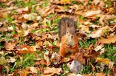 Squirrel sitting on the ground among dry leaves in the autumn park poster