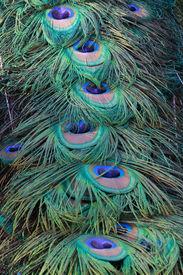 Beautiful Indian Peacock (Pavo Cristatus) Tail Close Up 1