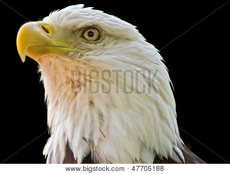 Close-up of an American Bald eagle