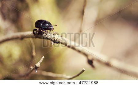 Dor Beetle in the UK