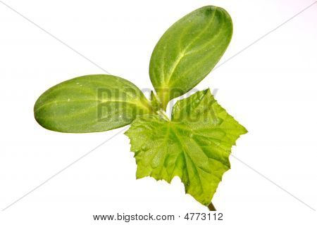 Small Green Sprout