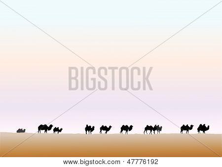 Camels graze