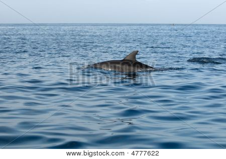 Dolphins in Indian ocean near Zanzibar Africa poster