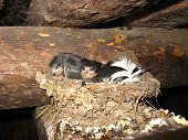image of nest of a swallow with nestlings poster