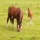 young foal and grazing brown mare in meadow poster