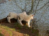two lambs curiously staring down at a lake from a raised position poster