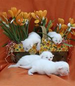 Four new week-old kittens wriggle out of a Spring planter. poster