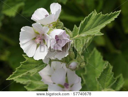 Marsh Mallow Flower