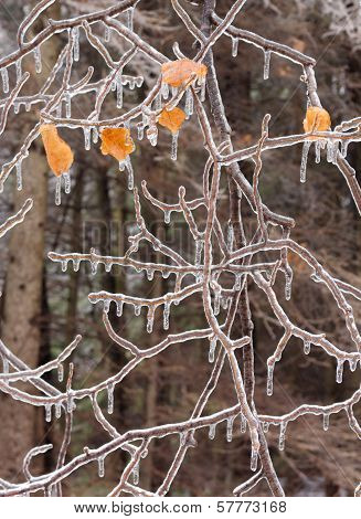 Ice Covered Branches After An Ice Storm.