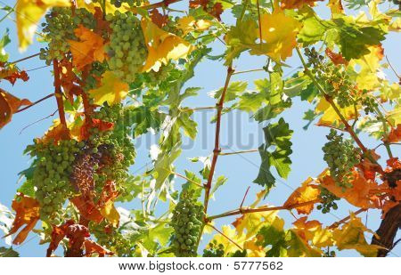 Grapes Against The Sky