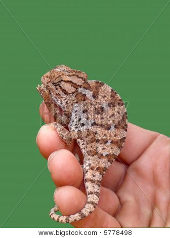 Close up of chameleon siting on a hand poster
