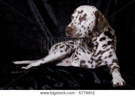 Sleepy Dalmatian