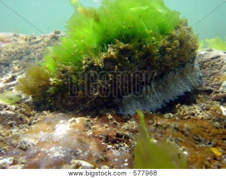 Abalone Under Cover