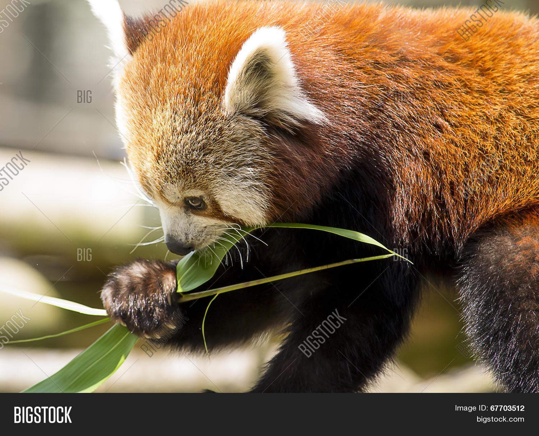 e9133bce95e8 Red Panda Eating Image   Photo (Free Trial)