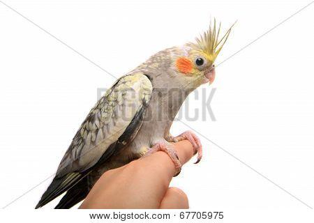 One cockatiel parakeet baby