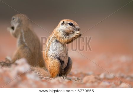 Ground Squirrels Eating