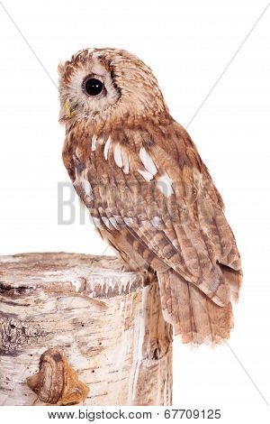 Tawny or Brown Owl, Strix aluco, isolated on the white background poster