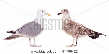 Two European Herring Gulls, young and adult