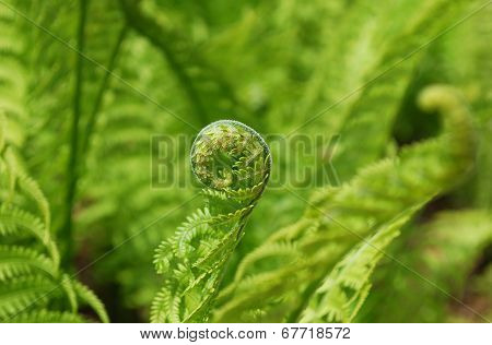Fern fiddleheads