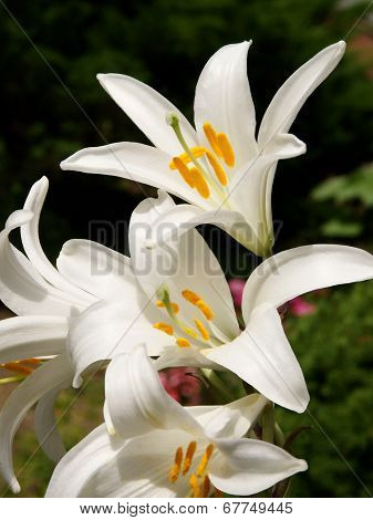 white lilies blossoming