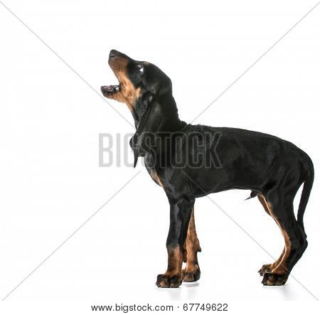 dog barking - black and tan coonhound barking isolated on white
