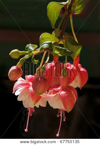 flowers of fuchsia pot-plant