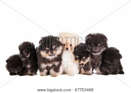 Funny Pomeranian Puppies group