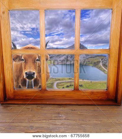 Cow Grazing.