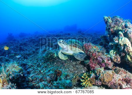 Green Turtle on a dead coral reef