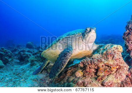 Green Turtle on a dark, damaged reef
