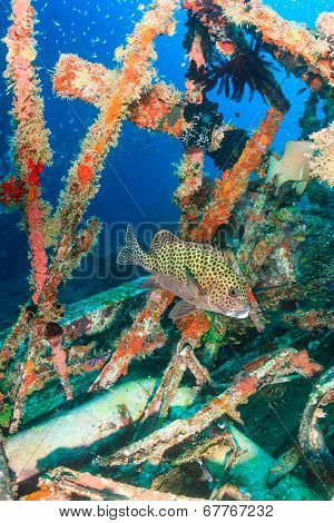Harlequin Sweetlips on an underwater wreck in the tropics poster
