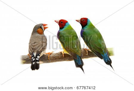 Two Gouldian and zebra Finches on white