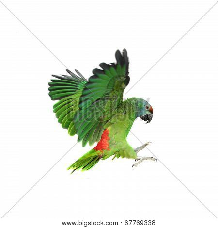 Flying festival Amazon parrot on white