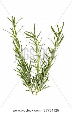 Three Branches Of Rosemary