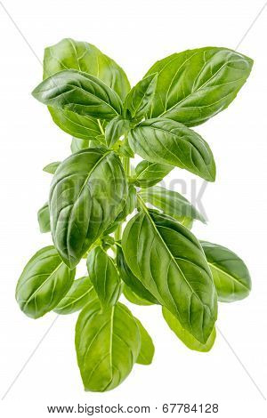 Branch Of Fresh Basil