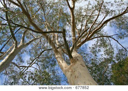 Tall Gum Tree