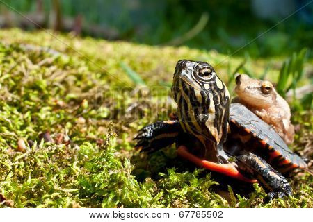 Baby Painted Turtle and Spring Peeper